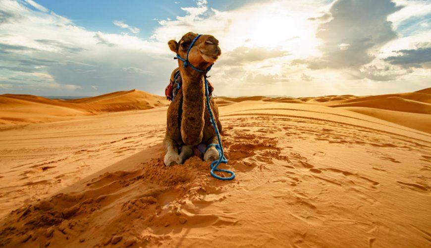 Balades à Dos de Chameau dans les Déserts du Maroc